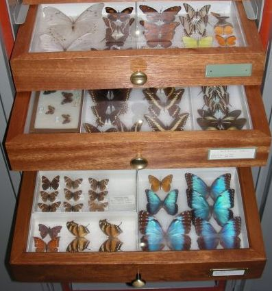 Who collected and studied these butterflies? What motivated them?