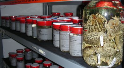 Toads preserved in alcohol.