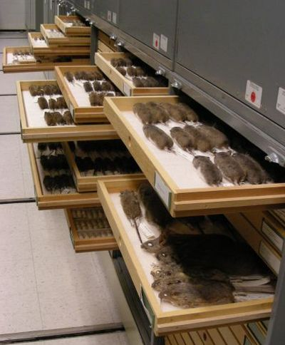 A sample of the collection's rodents.