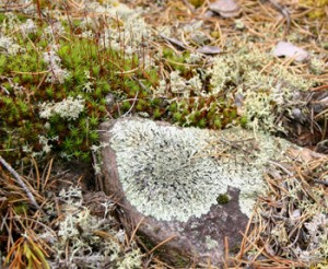 Lichens and mosses are undercollected in Manitoba.