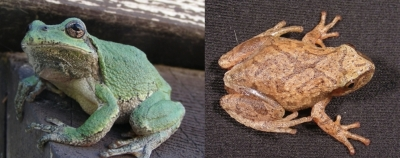 Gray treefrog from near Grand Rapids, left, and spring peeper from Naosap Lake, right.