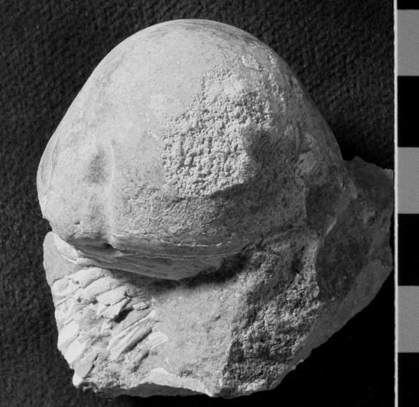 Ordovician trilobite ...