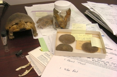 Among the desk clutter: Australian mice, Indo-Pacific fishes, a stuffed turtle, sand dollars, a vial of snake gut contents, and a donation form for a yellow rail and hermit thrush.