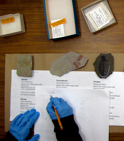 Specimens for the Cambrian exhibit are laid out on a lab table together with a draft design of exhibit copy (those hands belong to conservator Lisa May).