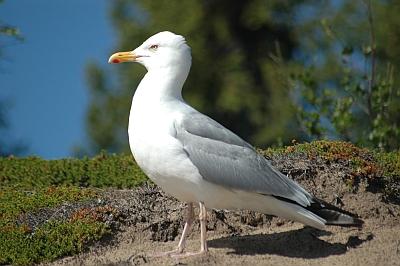 "Herring Gull on Nueltin Lake; the quintessential ""seagull."""