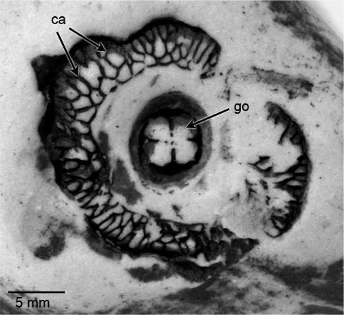 The jellyfish found in a schoolyard in Winnipeg (specimen I-2555)
