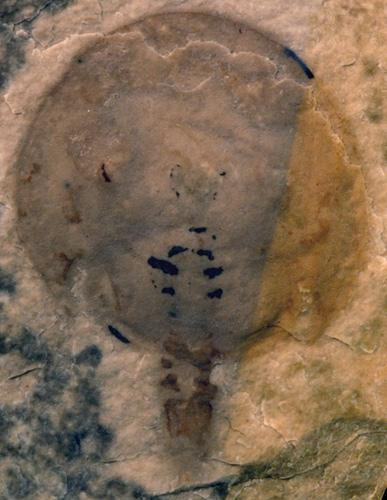Holotype specimen of the horseshoe crab Lunataspis aurora (specimen I-4000A)