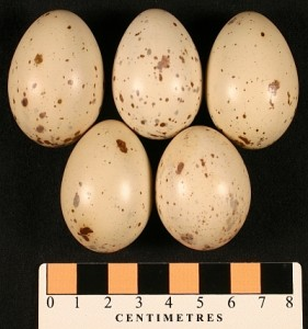 Clapper Rail eggs collected in New Orleans in April 1880 (MM1.21-160).