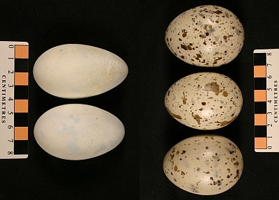 Century eggs of Double-crested Comorant at left (MM1.21.-106) and Caspian Tern at right (MM1.21-66).