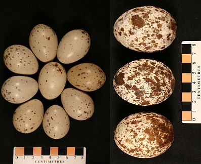 Clutches of Clapper Rail and Osprey eggs, each 100 years old and perhaps providing a record of environmental conditions at that time.
