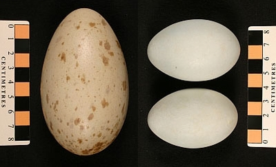 A Sandhill Crane egg from Alaska at left (MM1.21-142) and two Grey Heron eggs from Scotland (MM1.21-129), all 100 years old.