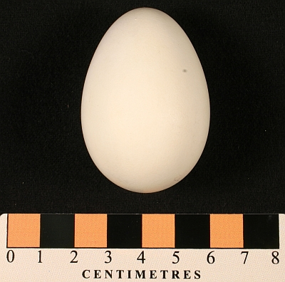 Parakeet Auklet egg (MM1.21-18) collected by A.C. Bent in 1911 from Walrus Island in the Pribilofs.