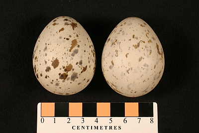 Black-legged Kittiwake eggs collected 100 years ago by Arthur Cleveland Bent in the Museum collections (MM1.21-44).