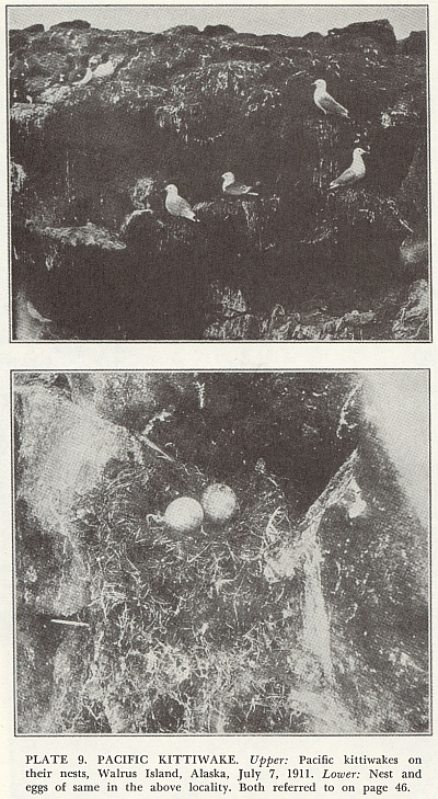 """A plate from A.C. Bent's """"Life Histories of North American Gulls and Terns"""" (1921) likely showing the birds that laid the eggs in the Museum collection, and perhaps our eggs in the nest."""