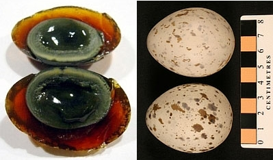 Century eggs. On the left, the Chinese version where colours should change to insure preservation (photo from Wikimedia Commons). On the right, The Museum version as exemplified by Black-legged Kittiwake eggs collected by A.C. Bent in 1911. Preserving the original colours and shapes are what makes museum eggs valuable.