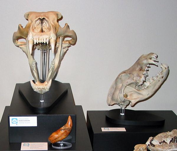 Skulls of a polar bear (left) and wolf (photo by Randy Mooi)