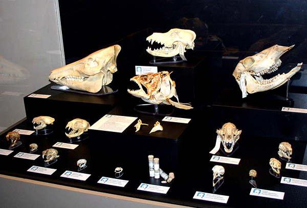 These are the skulls of familiar creatures such as dog, cat, pig, and pigeon.
