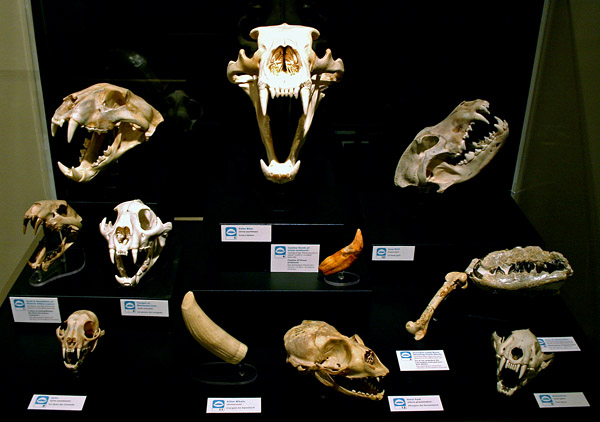 The skulls of carnivorous mammals are of great interest, and merited their own case. That is a polar bear, top and centre.