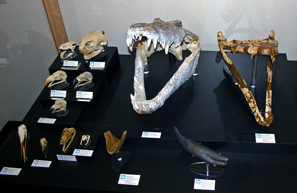 """Skulls of a variety of """"reptiles"""" and birds. A modern crocodile is compared to one from the Eocene Epoch, showing how little these creatures have changed in the last 50 million years!"""