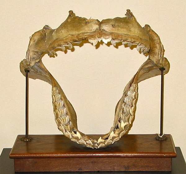 Mounted jaws of the Tiger Shark, Galeocerdo.