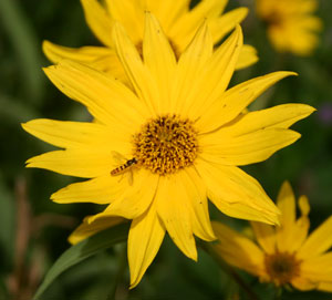 Sunflowers are pollinated by numerous insect species.