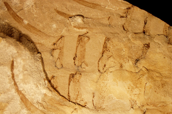 """Some of the legs of an Ordovician eurypterid (""""sea scorpion"""") from the Grand Rapids Uplands"""