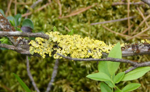 Powdered sunshine lichens were traditionally used as a source of dye.