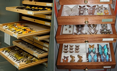 Trays of blackbirds, orioles and grosbeaks (left) and various tropical butterflies (right), some of the thousands of specimens that were examined as possible exhibition pieces.