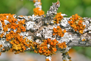 Orange and silvery lichens are common on tree branches and trunks.