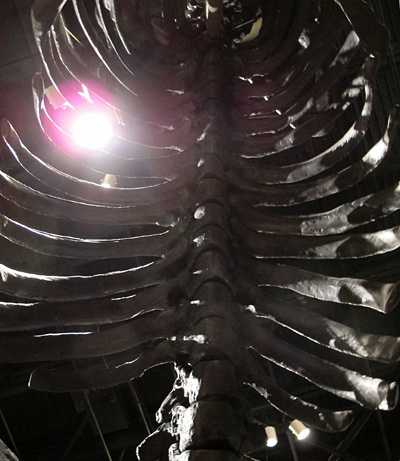 The sloth's massive ribcage