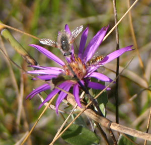 Bee flies and syrphids pollinate Western Silvery Aster flowers.