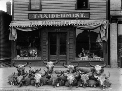 Eleven bison skulls outside Edward Darbey's taxidermy shop on Main Street in Winnipeg, mid-1911. Photo courtesy of the Archives of Manitoba through J.A. Burns.