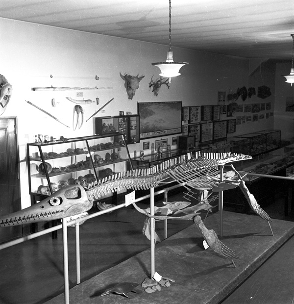 The plesiosaur as exhibited in the old Manitoba Museum after 1937