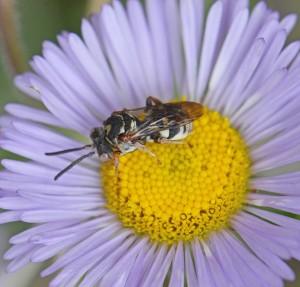A photo of a Cuckoo bee on a Fleabane.