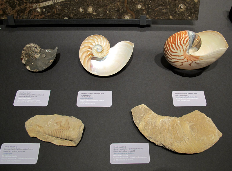 Part of the cephalopod exhibit in Marvellous Molluscs, with the two old museum specimens in front
