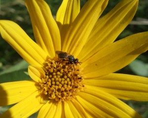 A photo of a Thick-headed Fly on a Sunflower.