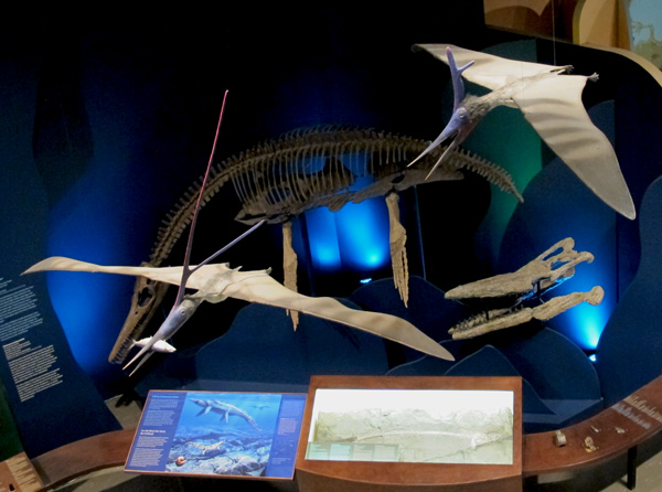 The plesiosaur is now exhibited near a mosasaur skull, with beautiful replicas of Nyctosaurus above.