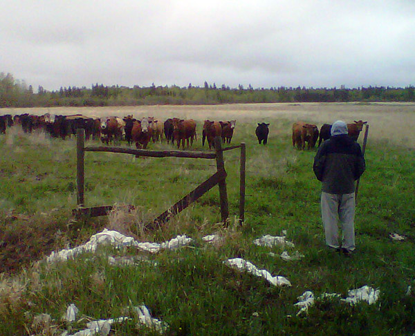 """Bob demonstrates """"cow-whispering"""" skills of which Ed and I had been previously unaware. Bob says later that they were more attentive than his human classes often are, though their attention did not seem to last very long."""
