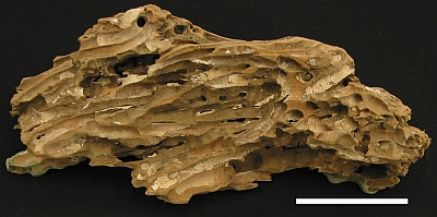 A small portion of wood from the Philippines showing the damage that occurs from the activities of Teredo, a woodboring clam that can digest wood with the help of symbiotic bacteria (MM 2.4-1062). Scale bar is 5 cm.