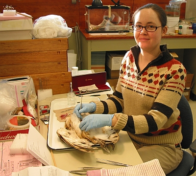 Volunteer bird preparator extraordinaire, Laurel McDonald beginning to dissect the Elie barn owl to make a study skin.
