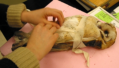 The study skin has been sewn up and is being wrapped for final drying before being placed with the main collection.