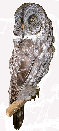 Not a barn owl, but a great gray owl, Manitoba's provincial bird. This is a mounted Museum specimen (MM 3.6-901) from southern Manitoba collected in February 1917.