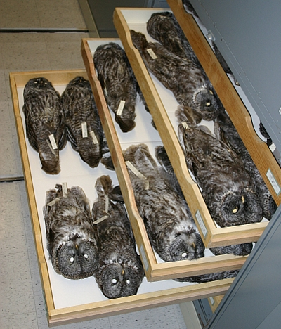 A cabinet of great gray owl specimens (Strix nebulosa). These are study skins arranged on their backs. Note that if these were all taxidermied mounts, they would require six or seven cabinets rather than one. Taxidermy is also a much more time-consuming and expensive process.