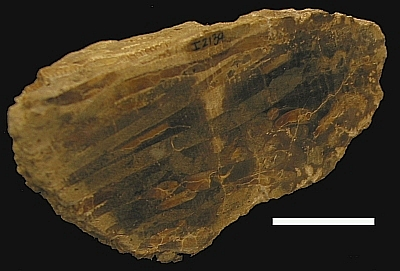 Woodboring clams have been around for awhile. This is fossil wood from Souris, Manitoba showing the bore holes of Teredo or a similar species from the Cretaceous Period, about 65 million years old (MM I-2139). Because all existing species require salt water, this suggests that the wood had been floating in an ocean environment before it became fossilized. Scale bar is 3 cm.