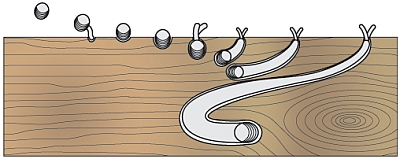 The settling of a young Teredo onto a piece of wood and its gradual growth. The shell halves grind up the wood. Note that the siphons remain at the wood surface to bring clean seawater to the animal. Figure from Flingeflung, German language Wikipedia.