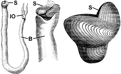 "Old woodcut illustrations of ""shipworm"" showing the worm-shaped body (B) on the left along with the shell valves at the front (S) and the siphons for incoming and outgoing water to the gills for breathing (IO). The middle figure is a close up of the front part of the animal and the shell valves (S) and on the right is the shell itself, showing its modification into a grinding surface. From Popular Science Monthly, August 1878."