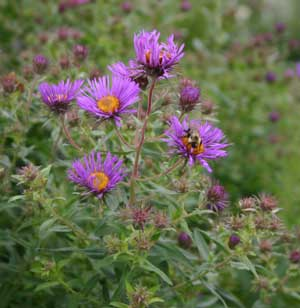 Asters provide colour in your garden in the fall and are popular with bees and butterflies.