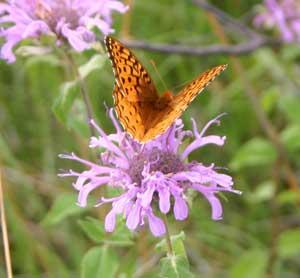 Butterflies love Wild Bergamot.