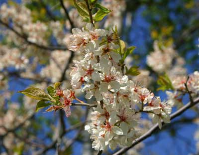 Small trees like this American Plum provide food for spring pollinators and edible fruits for you!