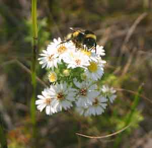 Bumblebee on many-flowered aster